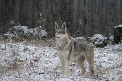 Hund Schnee, Wolfshund Natur, Wolfshund Zucht